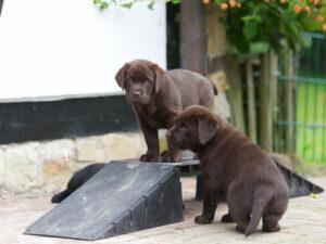 © Mel's Friend Labrador Retriever Zucht